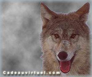 Un p'tit Loup !